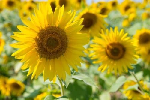 Sommer für Kinder: Die Sonnenblume
